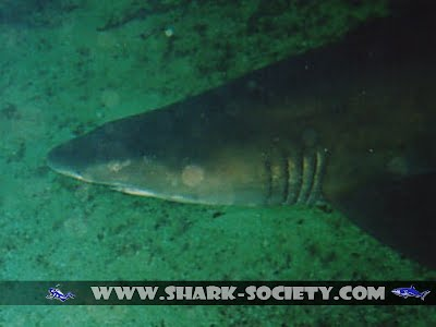 Aliwal Shark