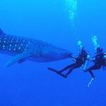 Whaleshark Scuba